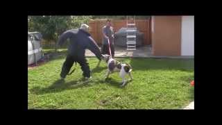 Aggressive American Bulldog has lost his mind! ( Part 4 ) DO NOT TRY THIS AT HOME!