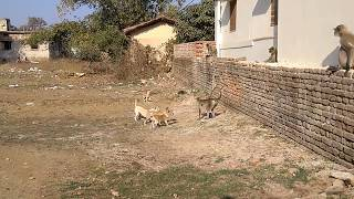 LANGOOR VS DOGS # DOGS CHASED LANGOOR # 1  MONKEY VS 4 DOGS # MONKEY FIGHTS DOGS