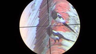 Air rifle hunting #3 Shooting magpies - pest control
