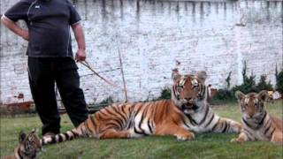 Tigers brothers playing in the yard - Tigres irmaos brincando no quintal