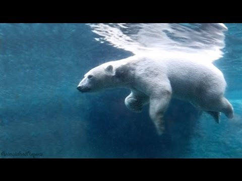 Polar Bears playing, swimming and eating