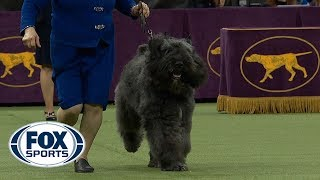 Group judging for the Herding Group at the 2019 Westminster Kennel Club Dog Show | FOX SPORTS