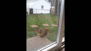 Domesticated Squirrel knocks on door