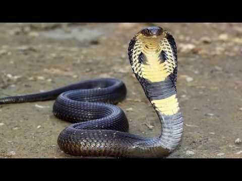 Огромная кобра попросила людей о помощи!