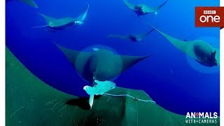 An unborn Devil Ray pup 'kicks' inside its mother - Animals With Cameras: Episode 3 - BBC One