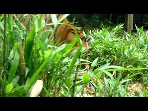 Endangered tigers  at Sydney, Australia Taronga Zoo