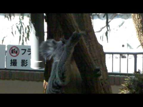 王子動物園 とぶコアラ