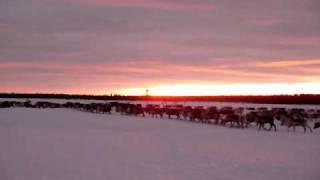 Reindeer herding in Laponia World Heritage