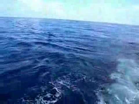 White Marlin Release, Puerto Cortés, Honduras