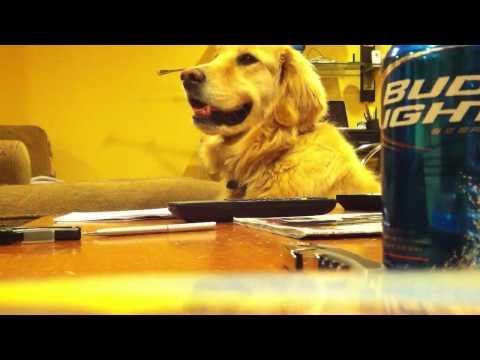 Perros - Perro golden sonrie cuando suena la música