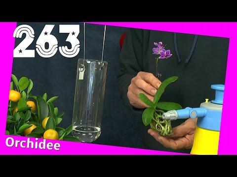 Phaleonopsis Orchidee ohne Substrat. Sphagnum Moos eingekauft
