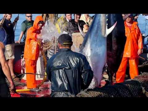 La Almadraba, pesca tradicional del atún rojo