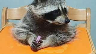 Pet raccoon chows down on favorite treat