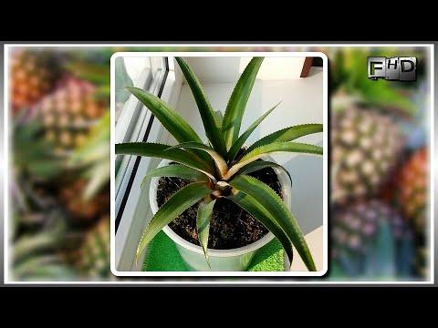 Как вырастить ананас из верхушки в домашних условиях - (ч.3)