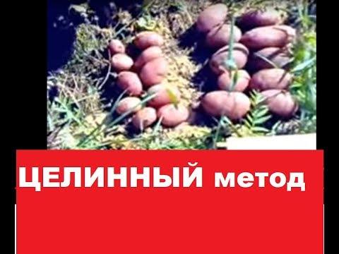 Картофель. Целинный метод посадки. 2015 год.
