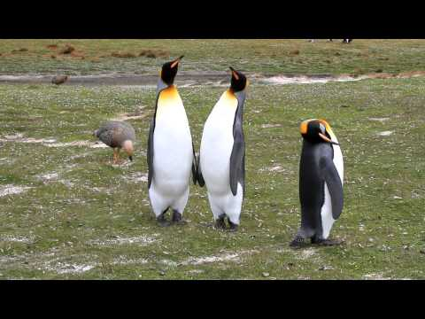 King Penguins Courting at the Start of Mating Season