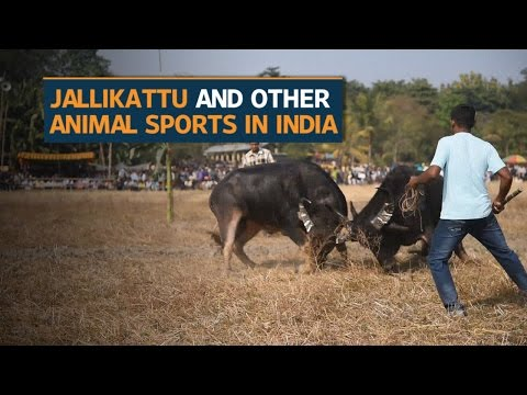 India's fascination with blood sports
