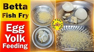 Betta fish fry egg yolk feeding