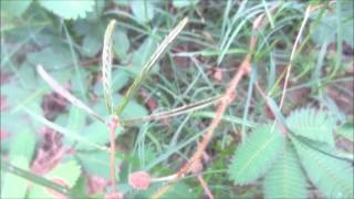 Mimosa Pudica Medical Importance