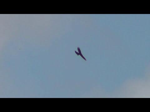Halcon ataca paloma en vuelo.