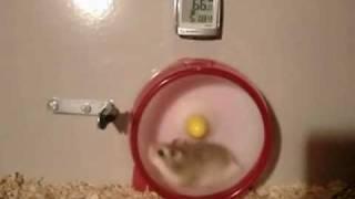 Thumb Hamster VTEC pierde un cambio de caja en plena carrera