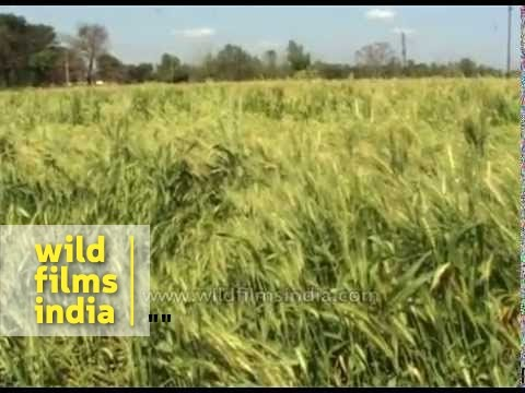 Unseasonal March rains destroy wheat crops across north India