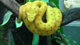 Eyelash Vipers and Golden Poison Dart Frogs at Jersey Zoo