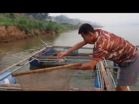 การเลี้ยงปลาในกระชังริมแม่น้ำโขง  Tilapia in cages along the Mekong River.