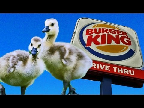 BABY GEESE GO TO BURGER KING