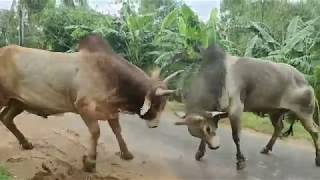 Bulls fight on the village road and villagers role