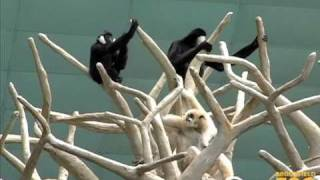 """Duet of """"Singing"""" Gibbons at Brookfield Zoo"""