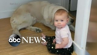 Toddler's late night escape accompanied by Golden Retrievers