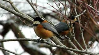 ヤマガラ (Yamagara, Parus varius, Varied Tit) Video 01