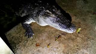 Thử cho cá sấu ăn vào buổi tối và kết quả (feeding crocodile at night)