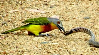 BIRD vs SNAKE - Snake Uses Clever Technique to get Away