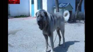 Aslan kafalı Köpek LİON HEADED DOG