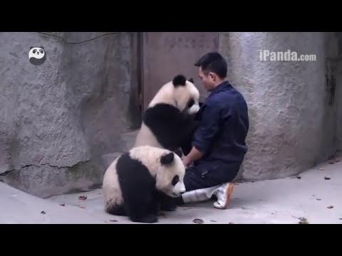 Pandas refuse to take medicine... cute giant panda,可爱大熊猫