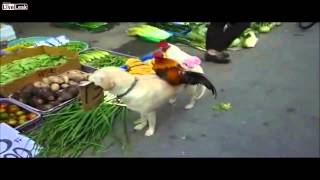 Pies sprzedaje kurczaki na targu. Dog sells chicken at the market!
