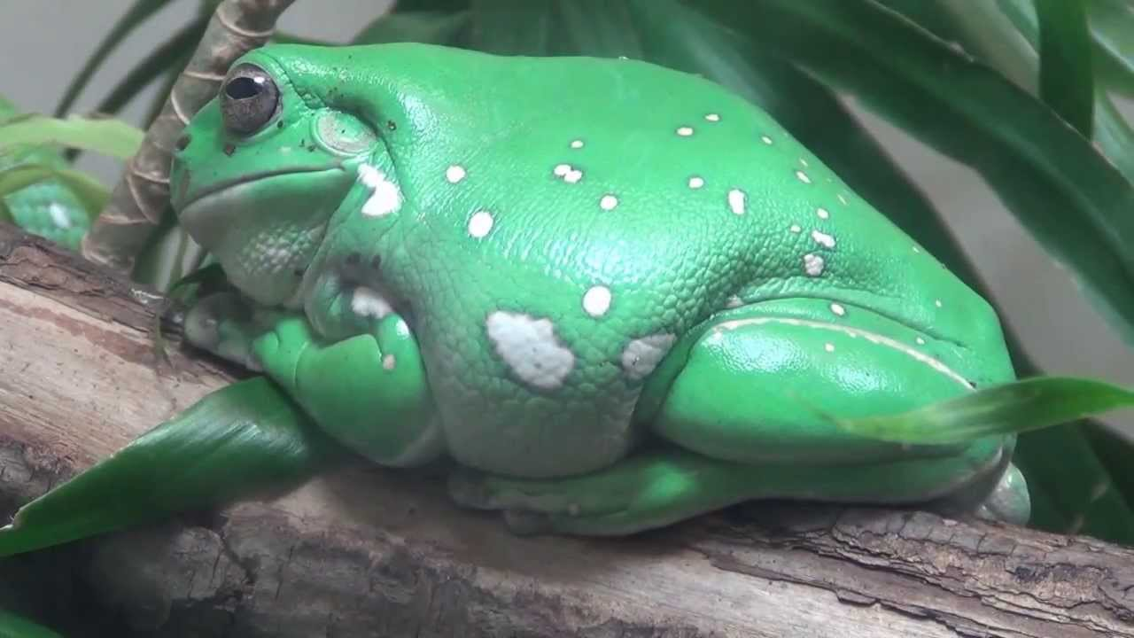 Whites Tree Frog  Reptile Supplies and Live Reptiles