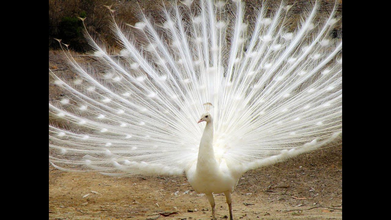White Peacocks Rare Rare White Peacock Pursuing