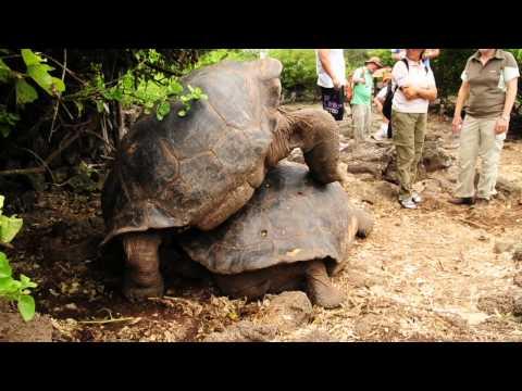 Giant Tortoise in Action