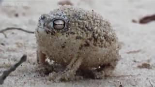 Angry Frog Pipo - Alexelcapo