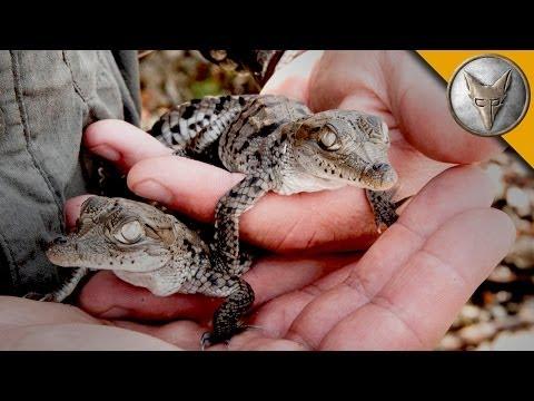 A Nest FULL of Crocodiles!