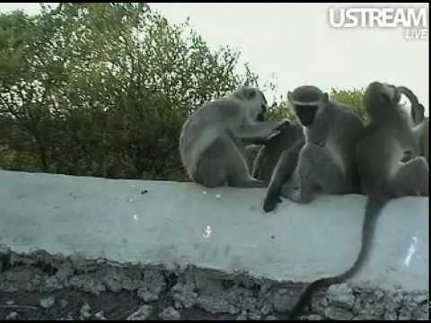 Vervet Family Grooms, Plays, and Bonds on the Hide Roof at Pete's Pond  February 7, 2012