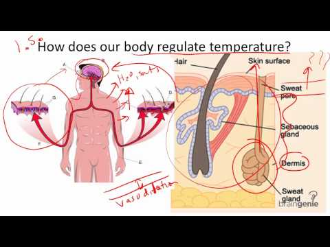 Temperature Regulation of the Human Body