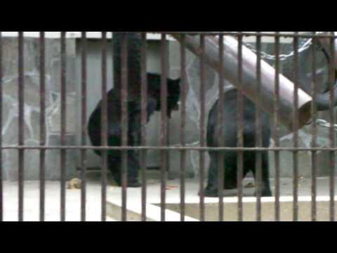 王子動物園 ツキノワグマ 恒例のお騒ぎ