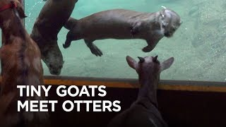 Tiny Goats Visit River Otters