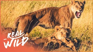 Lions Of Etosha [Lion Pride Survival Documentary] | Wild Things