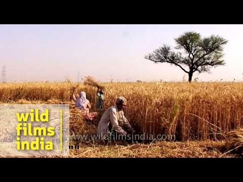 Farmers harvesting wheat crops in India