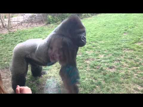 ORIGINAL When a Silverback attacks.